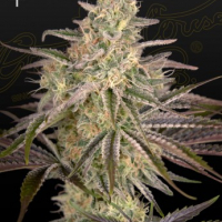 Cloudwalker Feminised Cannabis Seeds | Green House Seeds