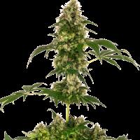 Cobalt Haze Feminised Cannabis Seeds - Sensi Seeds