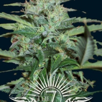 Colossus Auto Feminised Cannabis Seeds | 7 Dwarf Seeds