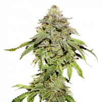 Cookies and Cream Feminised Cannabis Seeds | Seed Stockers