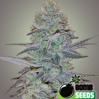 Cosmic Bomb Auto Feminised Cannabis Seeds | Bomb Seeds