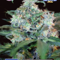 Crazy Mouse (Amsterdam Cheese) Feminised Cannabis Seeds | Kera Seeds