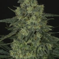 Criminal + Feminised Cannabis Seeds