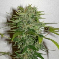 Cristal Limit Feminised Cannabis Seeds | KC Brains Seeds
