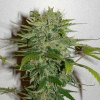 Cristal Limit Regular Cannabis Seeds | KC Brains Seeds