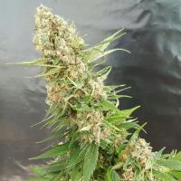 Critical Gorilla Feminised Cannabis Seeds | Expert Seeds