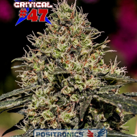 Critical 47 Feminised Cannabis Seeds | Positronics