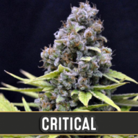 Critical Automatic Feminised Cannabis Seeds | Blim Burn Seeds