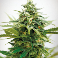 Critical XXL Feminised Cannabis Seeds | Garden of Green
