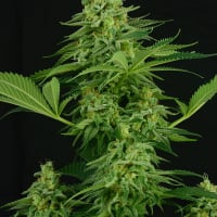 Moonshine Mass Feminised Cannabis Seeds| Critical Mass Collective Seeds