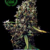 Cum Laude Feminised Cannabis Seeds | Positronics