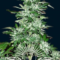 Cyclops Auto Feminised Cannabis Seeds | 7 Dwarf Seeds