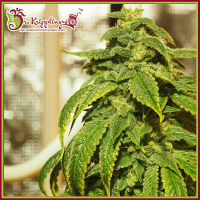 D'oh Si D'ohpe Feminised Cannabis Seeds – Dr Krippling