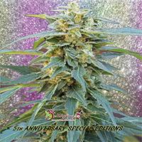 D.K. Won Feminised Cannabis Seeds   Dr Krippling