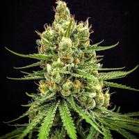 Dairy Queen Regular Cannabis Seeds | TGA Seeds