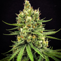 Dairy Queen Regular Cannabis Seeds | TGA Seeds
