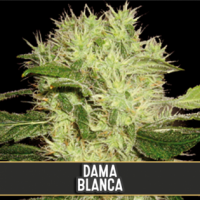 Dama Blanca Feminised Cannabis Seeds | Blim Burn Seeds