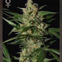 Buy Strain Hunters Damnesia Auto Feminised Cannabis Seeds