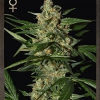 Buy Strain Hunters Damnesia Auto Feminised Cannabis Seeds