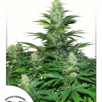 Dark Delight Feminised Cannabis Seeds | Dutch Passion