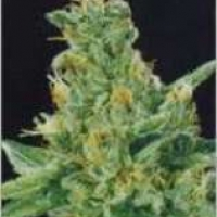 Merlin's Dream Regular Cannabis Seeds