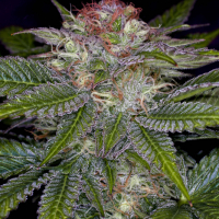 Deep Purple Regular Cannabis Seeds | TGA Seeds
