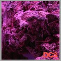 Deep Shag (AKA Super Cheese) Feminised Cannabis Seeds | Feminized Seeds