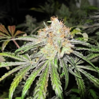 Deep Neville REGULAR Cannabis Seeds