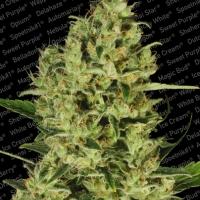 Delahaze Feminised Cannabis Seeds | Paradise Seeds