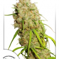 Desfran Feminised Cannabis Seeds | Dutch Passion