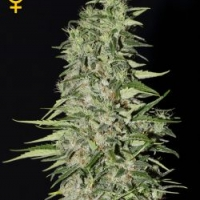Diamond Girl Feminised Cannabis Seeds | Green House Seeds