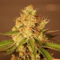 Diesel Auto Feminised Cannabis Seeds