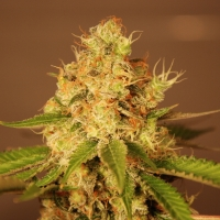 Diesel Auto Feminised Cannabis Seeds