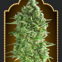 Do-Si-Do Cookies Feminised Cannabis Seeds | OO Seeds
