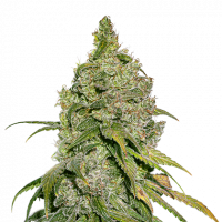 Do-Si-Dos Feminised Cannabis Seeds | Seed Stockers