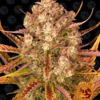 Dos-Si-Dos Auto Feminised Cannabis Seeds | Barney's Farm