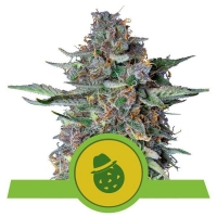 Do-Si-Dos Auto Feminised Cannabis Seeds | Royal Queen Seeds