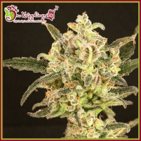 Dolly Kush Feminised Cannabis Seeds – Dr Krippling