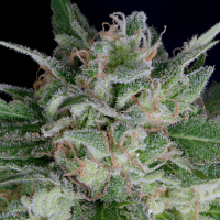 Don AK Auto Feminised Cannabis Seeds | Don Avalanche Seeds