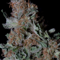 Don Blueberry Cookies Feminised Cannabis Seeds | Don Avalanche Seeds