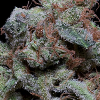 Don Cherrypie Feminised Cannabis Seeds | Don Avalanche Seeds
