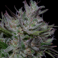 Don Do Si Cookies Feminised Cannabis Seeds | Don Avalanche Seeds