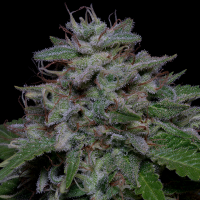 Don Do Si Glue Feminised Cannabis Seeds | Don Avalanche Seeds