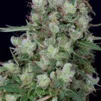 Don Grateful Chemdawg Feminised Cannabis Seeds | Don Avalanche Seeds