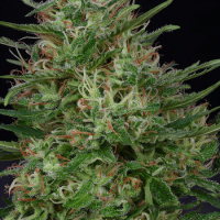 Don Green Crack Feminised Cannabis Seeds | Don Avalanche Seeds