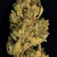 Don Lemon Glue Feminised Cannabis Seeds   Don Avalanche Seeds