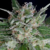 Don OG Kush Auto Feminised Cannabis Seeds | Don Avalanche Seeds
