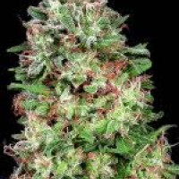 Don White Widow Feminised Cannabis Seeds | Don Avalanche Seeds