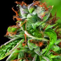 Double OG Haze Feminised Cannabis Seeds   Pyramid Seeds USA Range