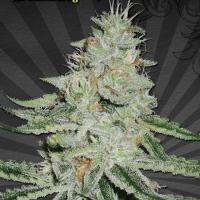 Dream Berry Regular Cannabis Seeds | Apothecary Genetics Seeds